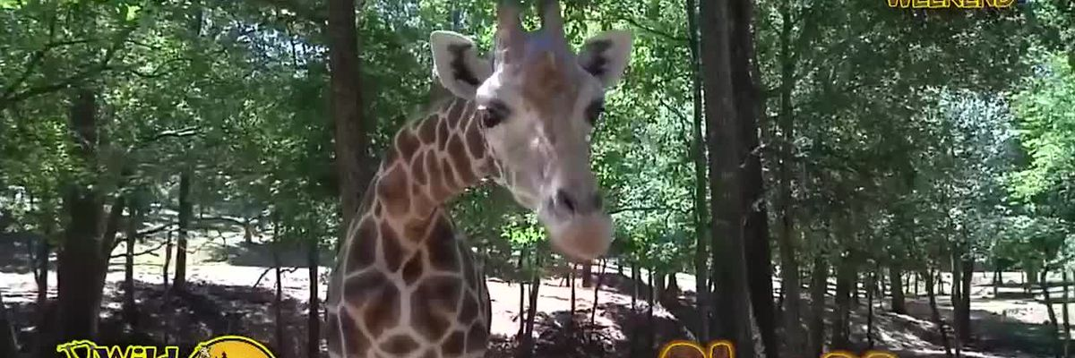 Wild Animal Weekend: Giraffe