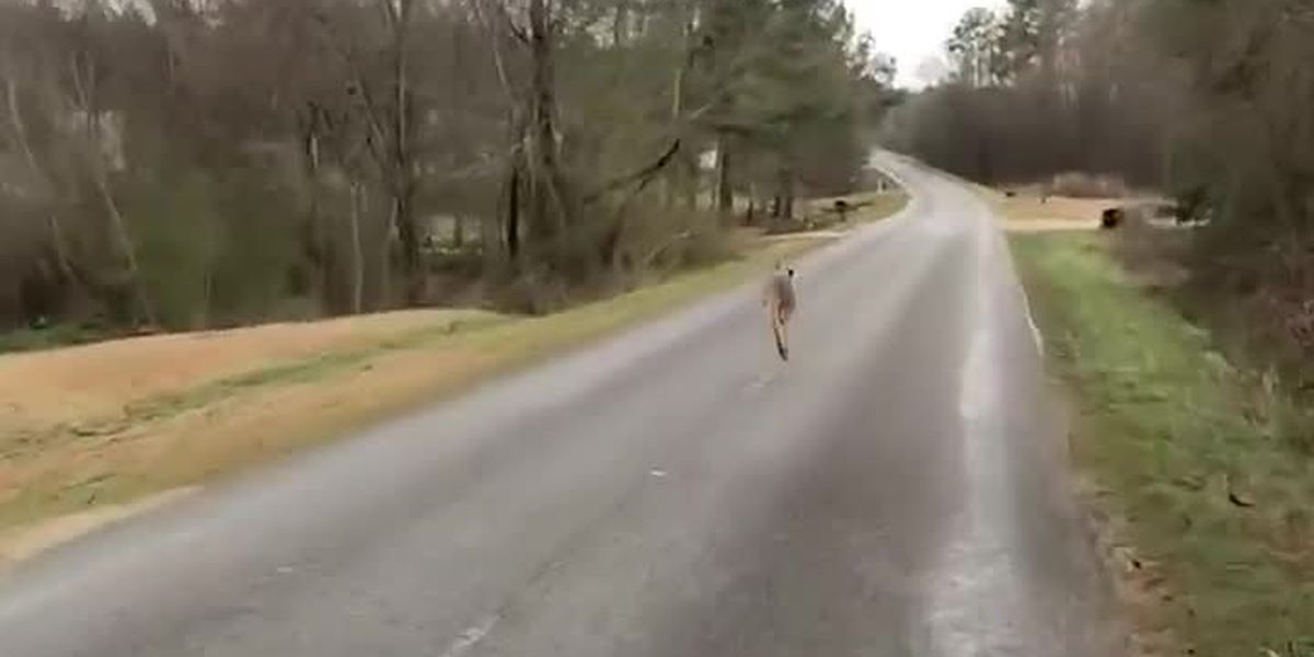 UPDATE: Kangaroo caught after escape from farm in small Alabama town