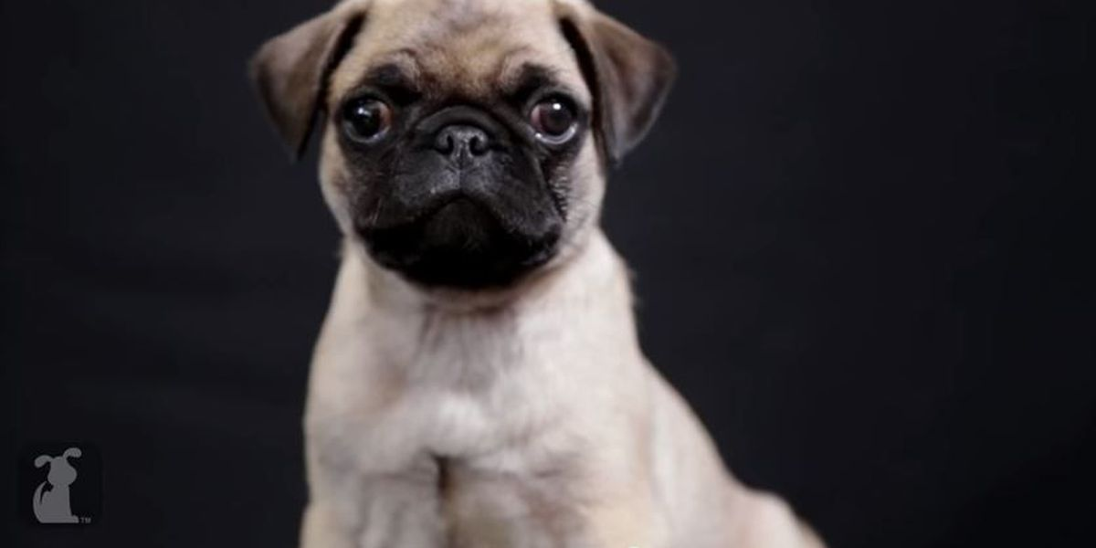 VIDEO: Adorable Pug puppy reenacts Oscars nominations for 'Best Picture'
