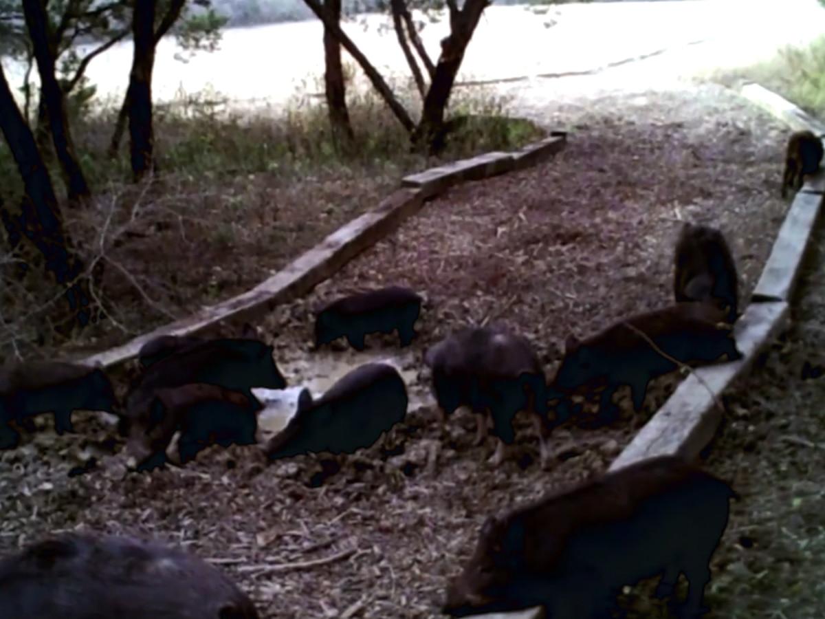 Wild hogs, other wildlife overrun Austin residential neighborhood