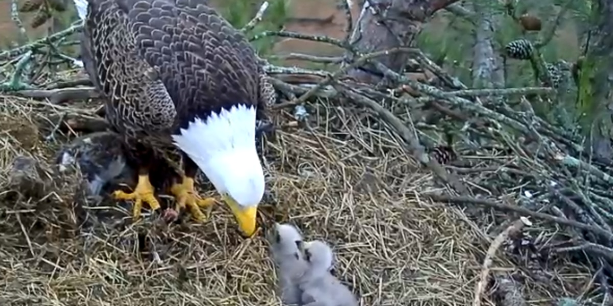 WATCH LIVE: Berry College Eagle Cam shows mom and 1 baby eaglet after second eaglet dies