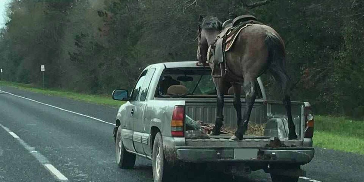 Driver pulled over with horse in truck bed may face animal cruelty charge