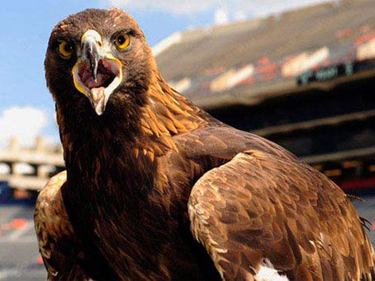 Famed Auburn University golden eagle possibly in early stages of heart failure