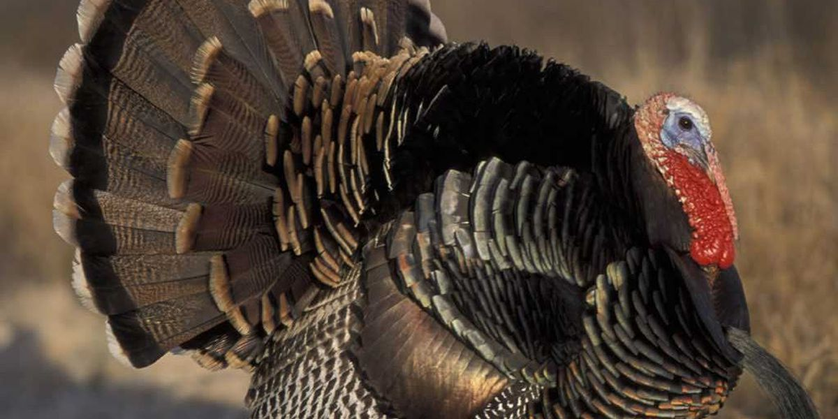 Georgia's turkey hunting season kicks off next weekend