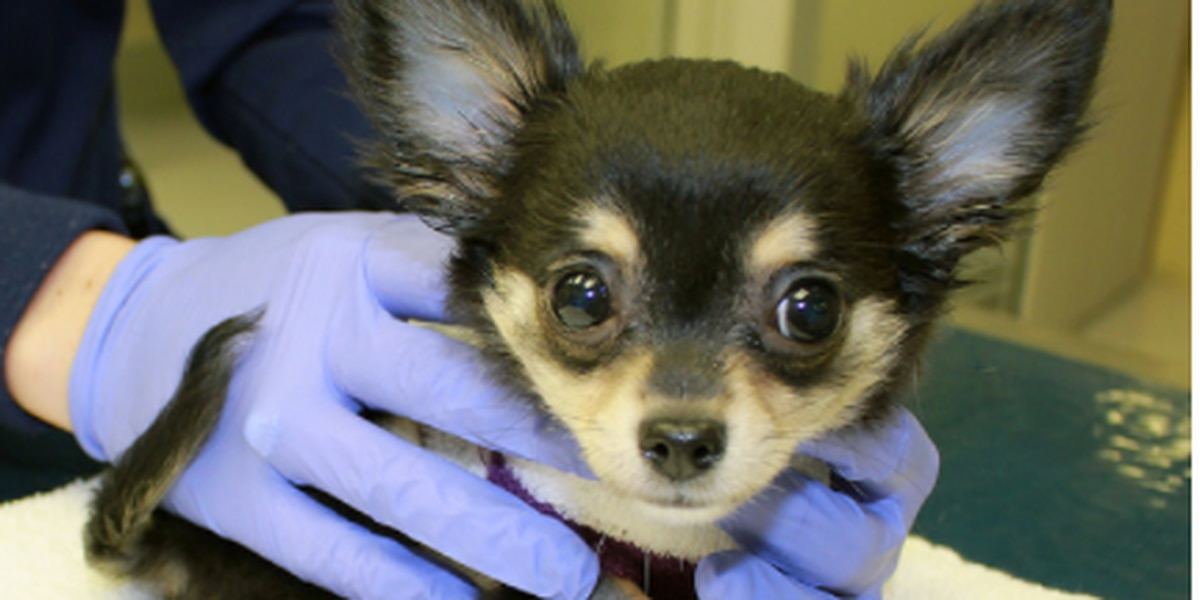 Chihuahua successfully undergoes heart surgery at AU College of Veterinary Medicine