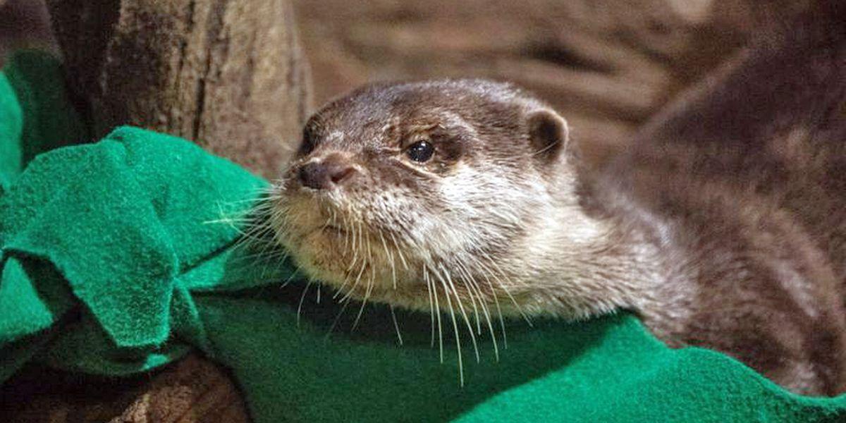 Otters at Georgia Aquarium come down with COVID-19