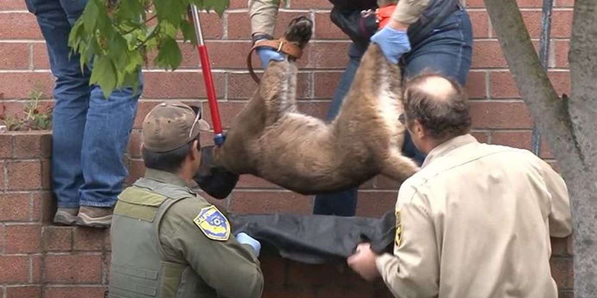 Mountain lion found sleeping outside California Macy's tranquilized
