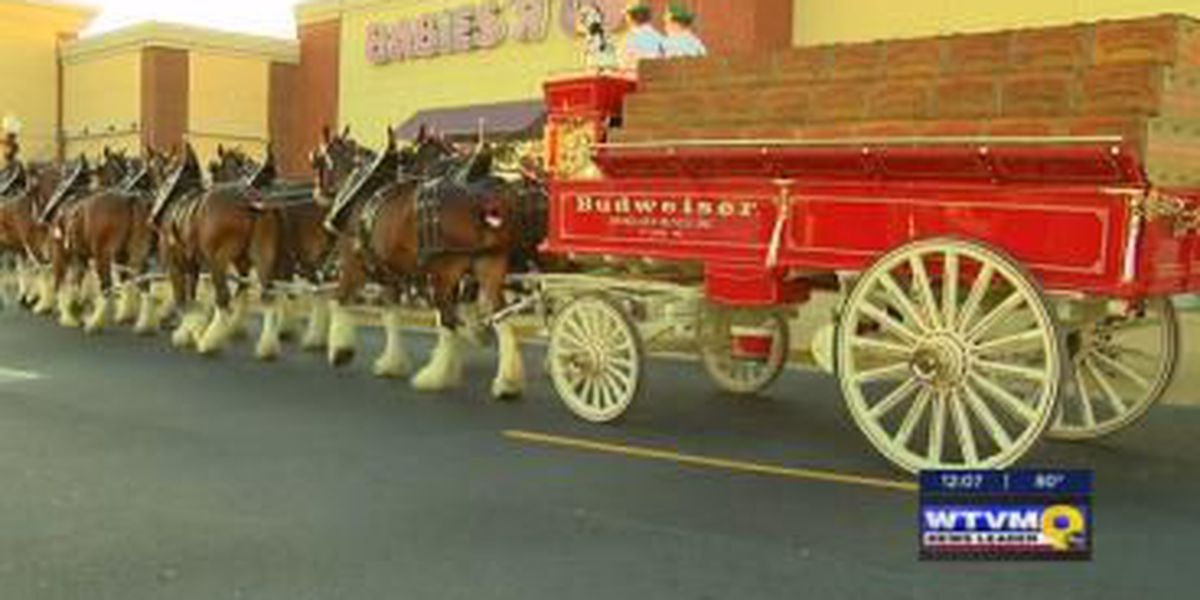 Auburn streets shut down as Clydesdales come into town