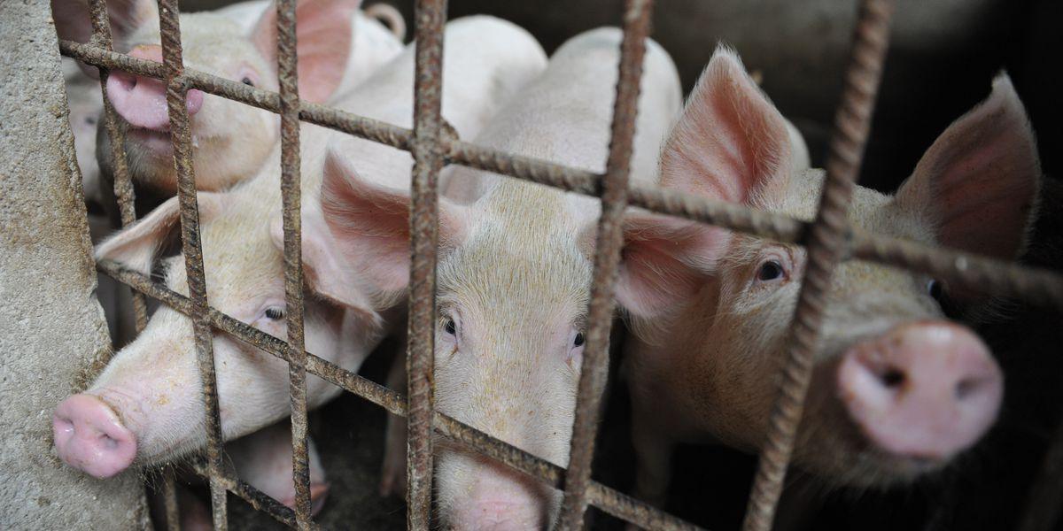 Swine fever adds to China's economic headaches