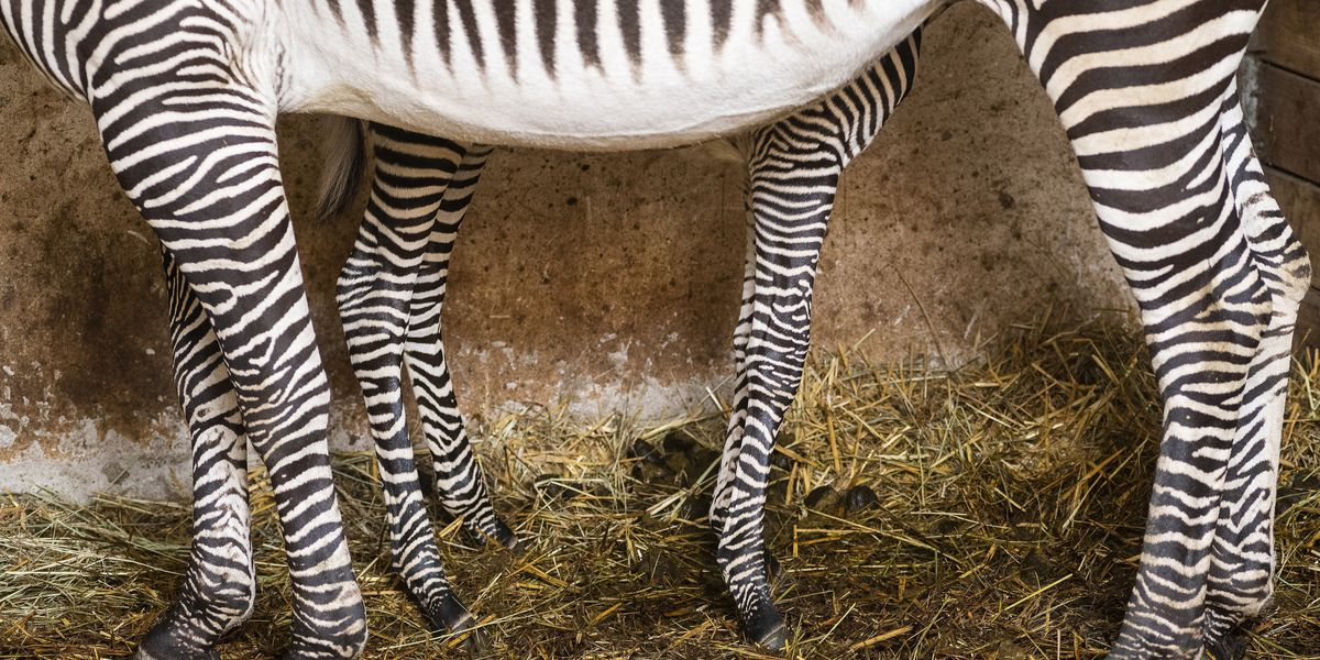 Zebra-like stripes may prevent insect bites, study finds
