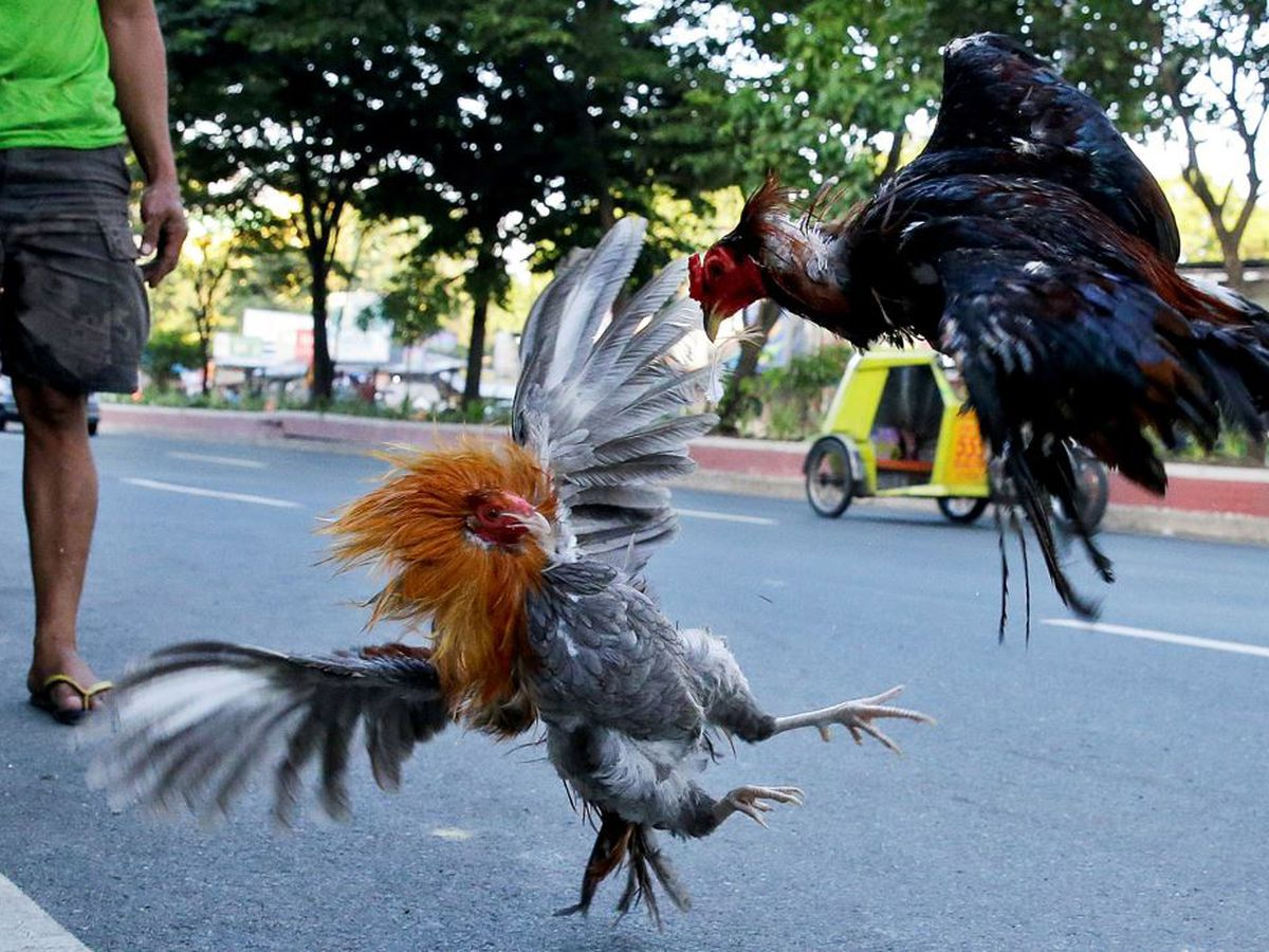 Philippine police chief killed by rooster in cockfight raid