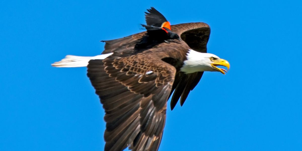Photographer catches blackbird perched on eagle's back