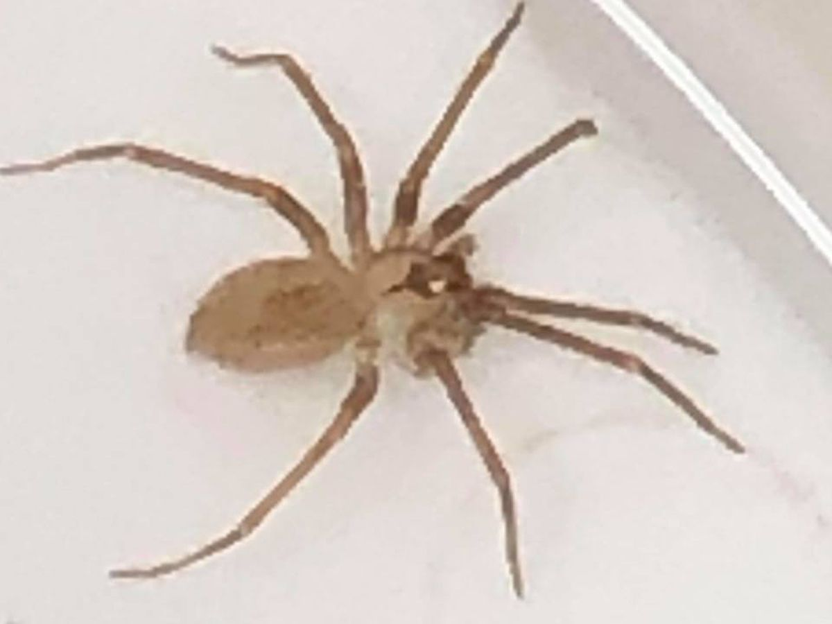 Doctors pull brown recluse out of Missouri woman's ear