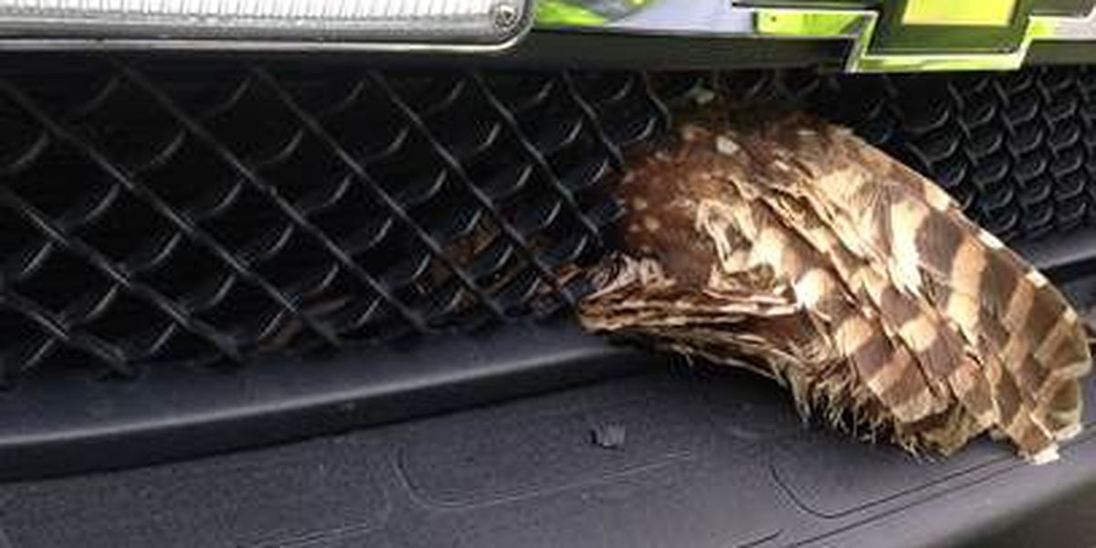 Owl once trapped in ambulance grill released Monday