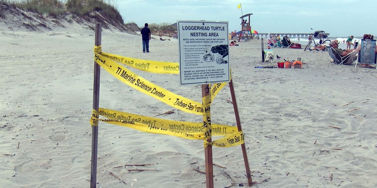 Sea turtle nests could set record along Georgia coast