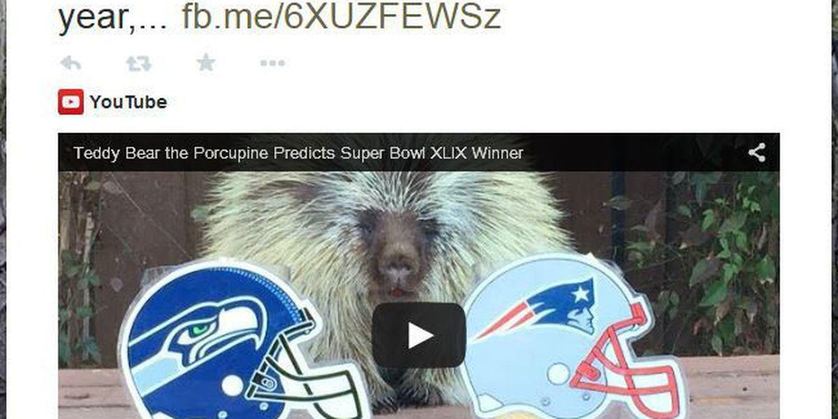 VIDEO: Teddy Bear the porcupine picks this year's Super Bowl winner