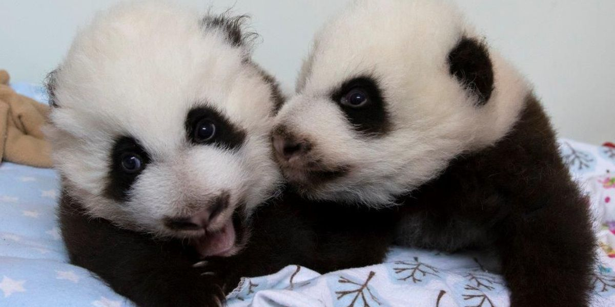 Zoo Atlanta invites the public to name newest twin pandas