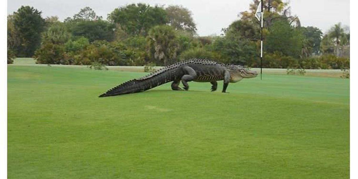 13 ft. alligator spotted on FL golf course