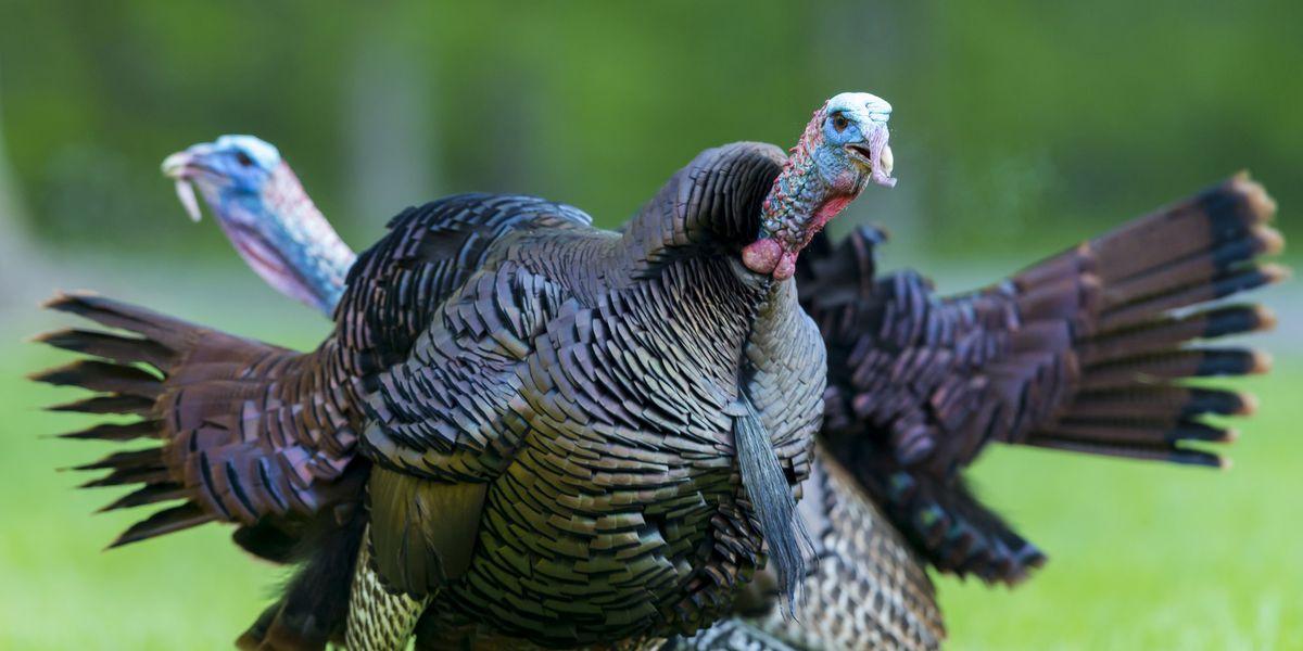 Spring turkey season opens Saturday in Alabama