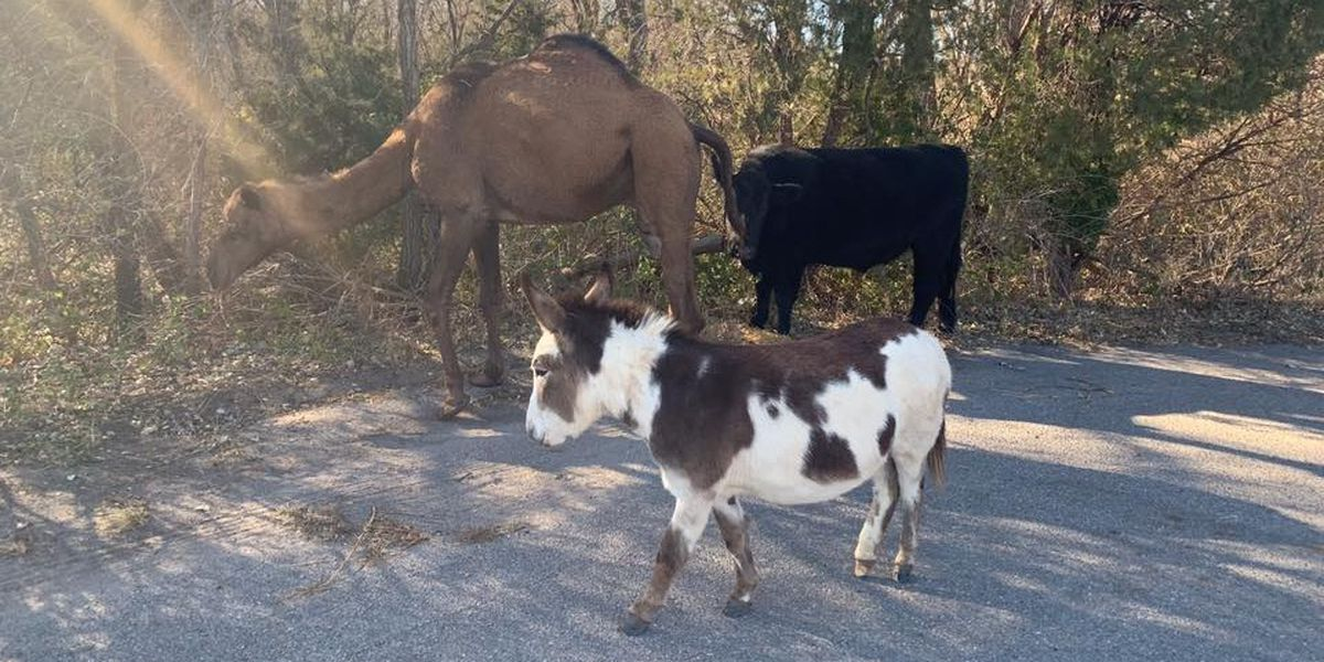 Camel, cow and donkey caught on the lam
