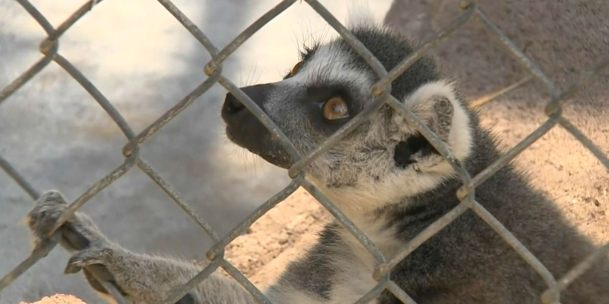 Man pleads guilty to stealing lemur from California zoo