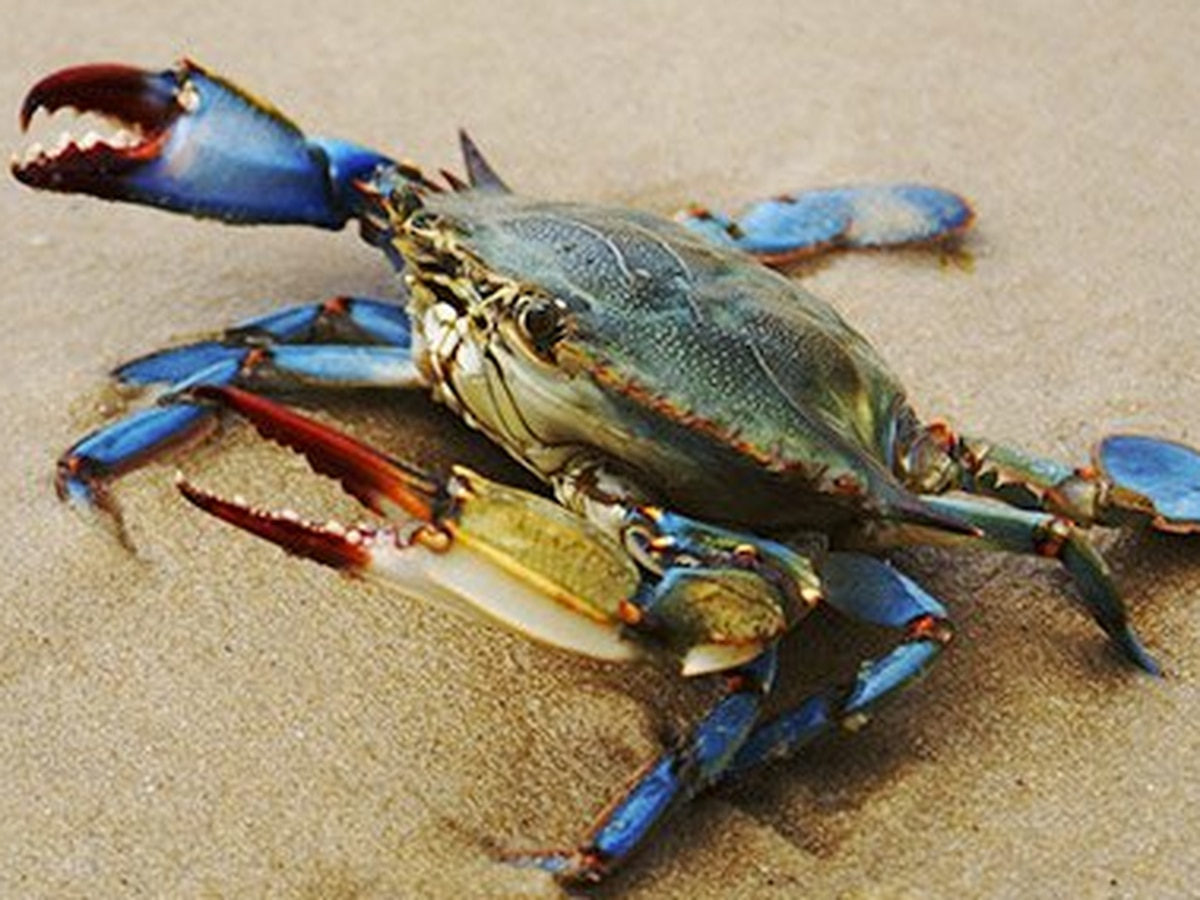 Columbus grocery store could face charges for illegally dumping blue crabs in the Chattahoochee River