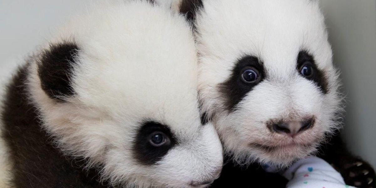Giant panda twins named at '100 Day Naming Celebration'
